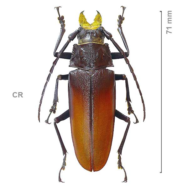 Callipogon barbatus