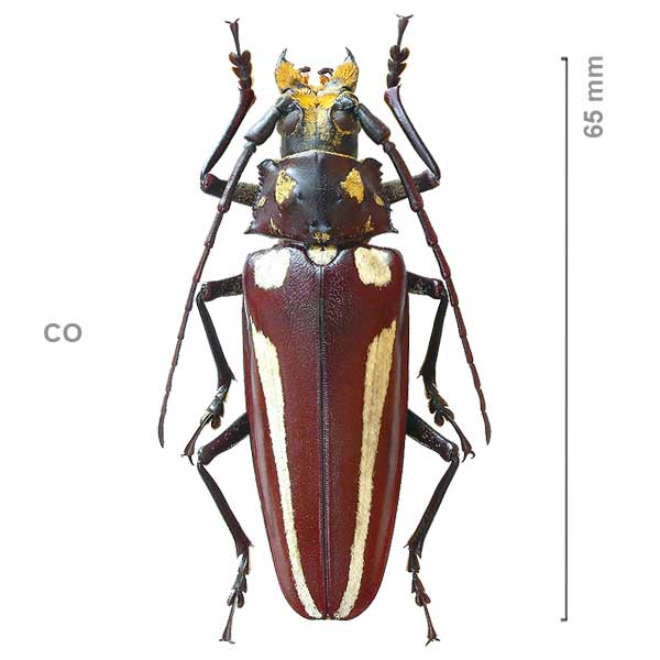 Callipogon lemoinei