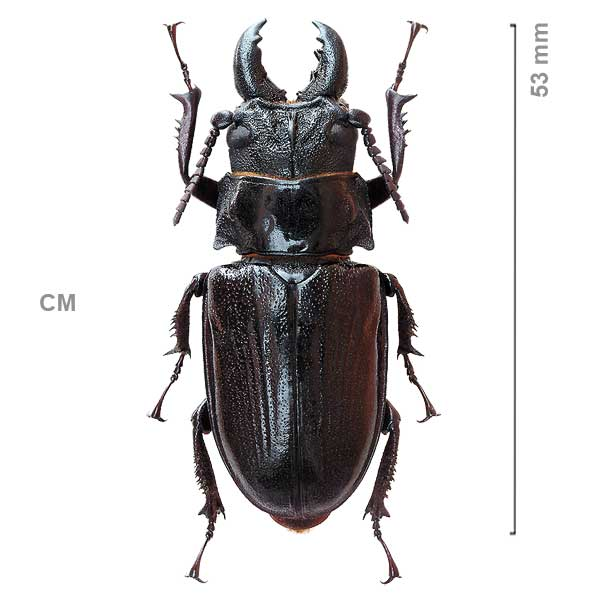 Cantharoplacis plicipennis