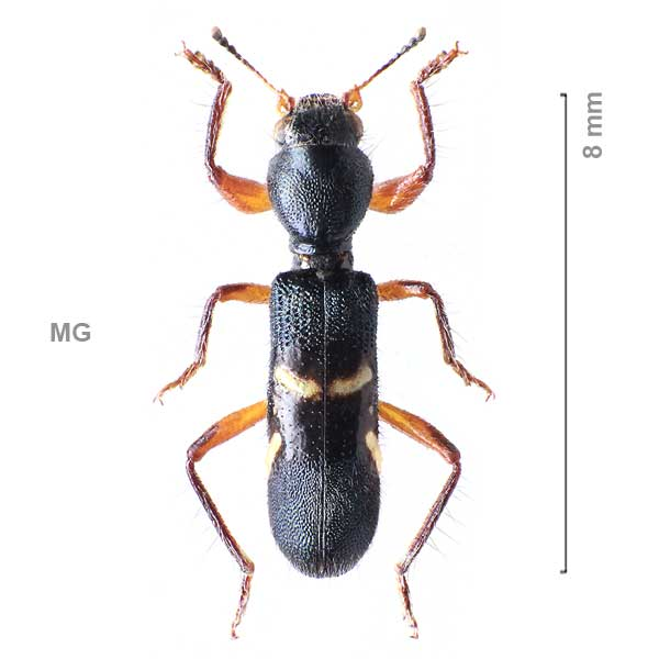 Clerinae-g01-sp-Madagascar1