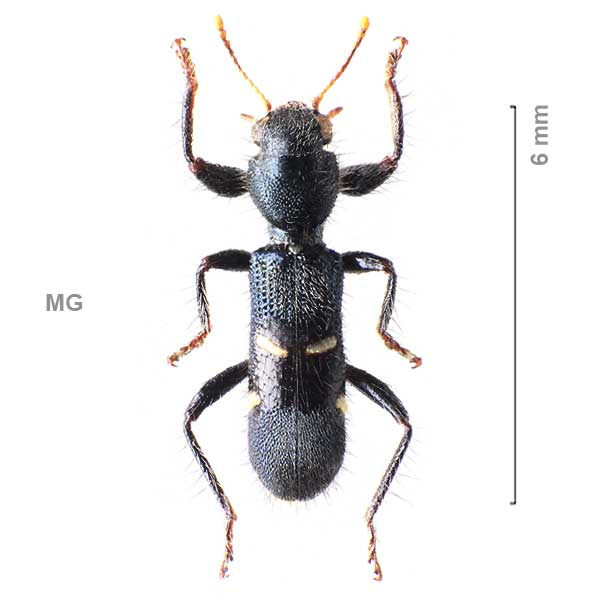 Clerinae-g01-sp-Madagascar2