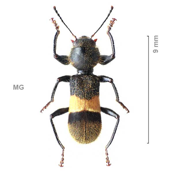Clerinae-g02-sp-Madagascar2