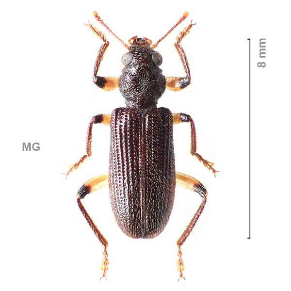Clerinae-g05-sg1-sp-Madagascar2