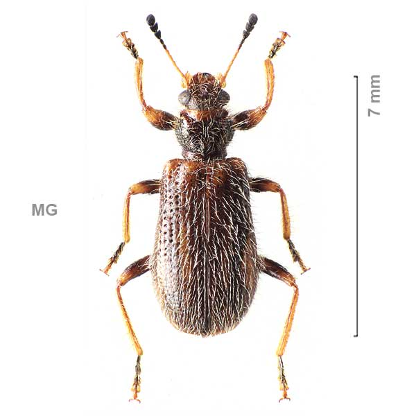 Clerinae-g05-sg3-sp-Madagascar3