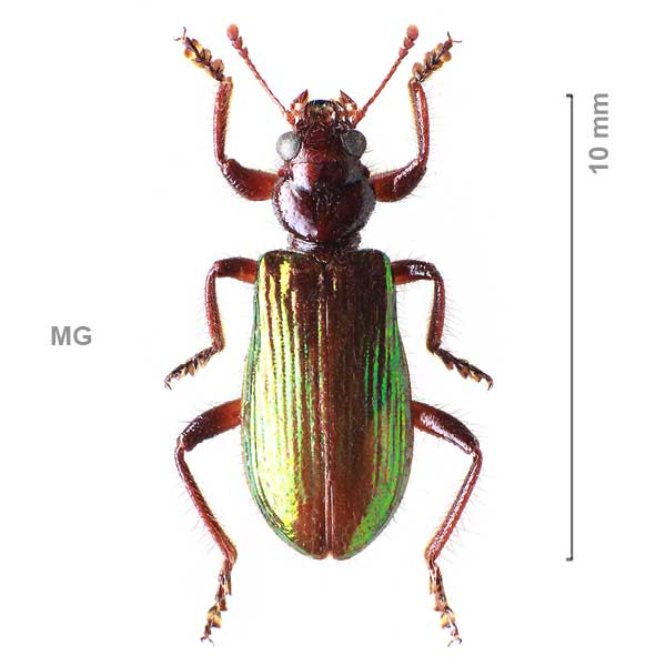 Clerinae-g05-sg4-sp-Madagascar2