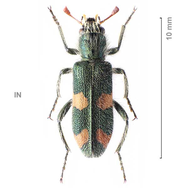 Trichodes frater