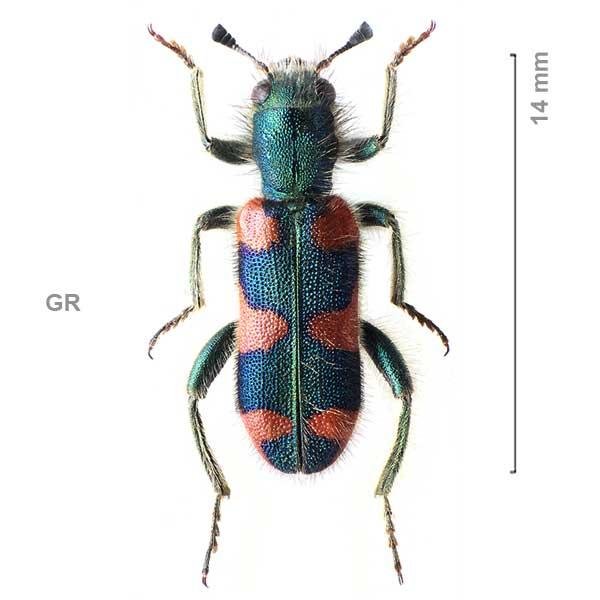 Trichodes-sp-Greece06