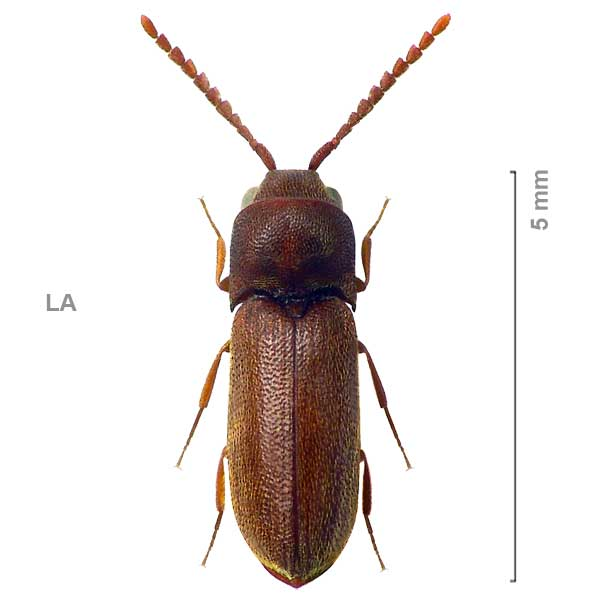 Xylophylinae-sp-Laos1